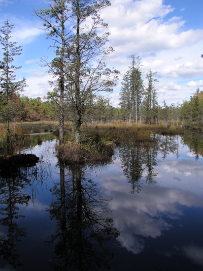 Cedar swamp in the Pinelands